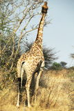 Giraffe in bush Stock Photos