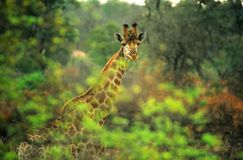 Giraffe in the bush Stock Image