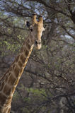 Giraffe in the bush Royalty Free Stock Photos