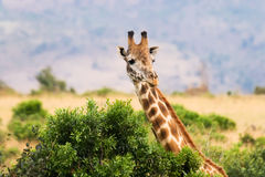 Giraffe and bush Royalty Free Stock Photography
