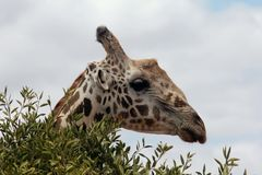 A Giraffe in a bush Royalty Free Stock Photography