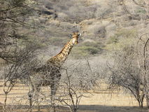 Solitary Giraffe in thick African  bush in namibian bush Stock Images