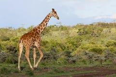 Giraffe in the bush. A reticulated giraffe Giraffa camelopardalis walks among green bushes. Ol Pejeta Conservancy, Kenya stock images
