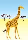 Giraffe in bush. A slender giraffe, with trees in the background Stock Images