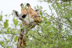 Giraffe in the Bush in South Africa Royalty Free Stock Photos