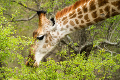 Giraffe in the Bush in South Africa Royalty Free Stock Images