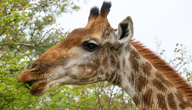 Giraffe in the Bush in South Africa Royalty Free Stock Photo