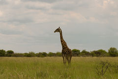 Giraffe in the bush at sunset against the sky   in the Etosha Pa Stock Photography