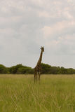 Giraffe in the bush at sunset against the sky   in the Etosha Pa Stock Images