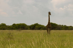 Giraffe in the bush at sunset against the sky   in the Etosha Pa Royalty Free Stock Photo