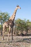 Giraffe in the bush Stock Photos
