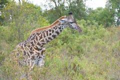 Giraffe in bush, Tanzania. Giraffe coming out of bush, Tanzania, Africa Royalty Free Stock Image