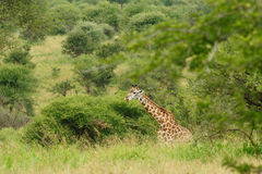 Giraffe in the bush Stock Images