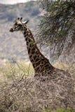 Giraffe in bushes Royalty Free Stock Image
