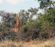 Giraffe in bushveld Stock Photos