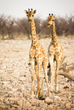 Giraffe with calf stock images