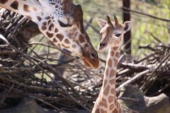 Giraffe with calf. Big Mother and one cute Baby Giraffe royalty free stock photos