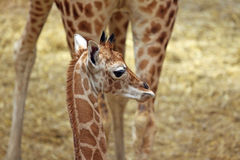 Giraffe with calf. Big Mother and one cute Baby Giraffe royalty free stock photo