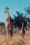 Giraffe with calf, Africa wildlife safari royalty free stock image