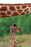 Giraffe calf below the neck of her mother Stock Photo