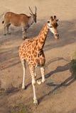 Giraffe calf and eland antelope Stock Photos
