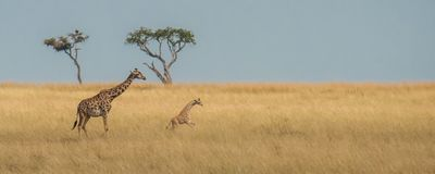 A giraffe calf is frolicking in the savannah stock images