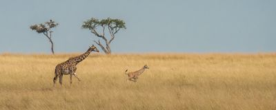 A giraffe calf is frolicking in the savannah royalty free stock images