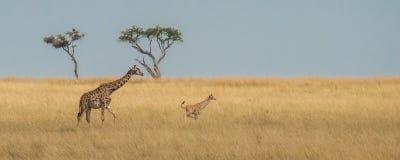 A giraffe calf is frolicking in the savannah. Masai Mara, Kenya royalty free stock images