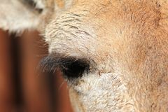 Giraffe Calf - Looking into the eye of African wildlife Royalty Free Stock Photos