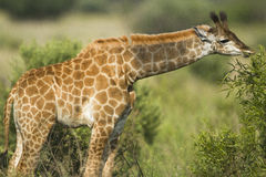 Giraffe Calf. In the Mabalingwe Nature Reserve in Southern Africa with the calf feeding from Bush Stock Image