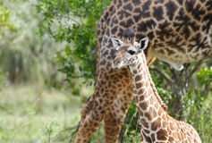 A Giraffe calf with mother Stock Images