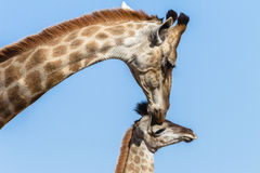 Giraffe Calf Touch Affections Wildlife Stock Images