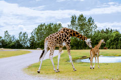 Giraffe and calf Royalty Free Stock Photography