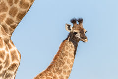 Giraffe Calf Wildlife Animals Royalty Free Stock Photo
