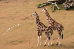 Giraffe calves Royalty Free Stock Images