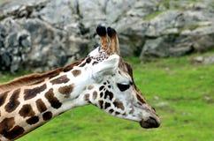 Giraffe, camelopardalis. A giraffe at the zoo in Borås zoo Royalty Free Stock Photos