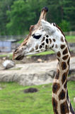 Giraffe, camelopardalis Stock Images