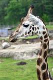 Giraffe, camelopardalis. A giraffe at the zoo in Borås zoo stock images