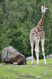 Giraffe, camelopardalis. A giraffe at the zoo watching Stock Image
