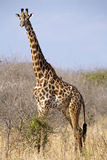 Giraffe camelopardalis. Serengeti National Park, Tanzania royalty free stock image