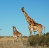 Giraffe (camelopardalis do giraffa) Fotografia de Stock