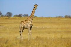 Giraffe (camelopardalis do Giraffa) imagens de stock royalty free