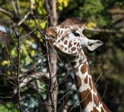 Giraffe, camelopardalis Giraffa είναι αφρικανικό θηλαστικό στοκ εικόνες με δικαίωμα ελεύθερης χρήσης