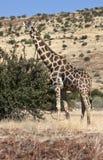 Giraffe - camelopardalis Giraffa - Ναμίμπια Στοκ φωτογραφία με δικαίωμα ελεύθερης χρήσης