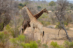 Giraffe (camelopardalis Giraffa) Στοκ φωτογραφία με δικαίωμα ελεύθερης χρήσης