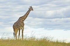 Giraffe camelopardalis Giraffa Στοκ φωτογραφία με δικαίωμα ελεύθερης χρήσης