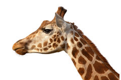 Giraffe Camelopardalis Head Shot Profile Close Up. Isolated stock photography
