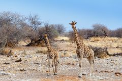 Giraffe camelopardalis near waterhole, Namibia. Giraffe camelopardalis near waterhole in Etosha national Park, Ombika, Kunene, Namibia wildlife Stock Image