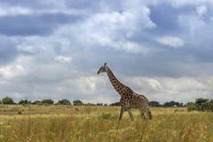 Giraffe  camelopardalis. Walking in the open field Stock Photos