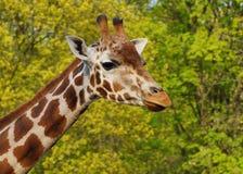 Giraffe camelopardalis - young giraffe Stock Photography